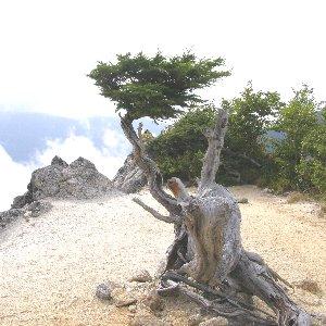 鳳凰三山稜線の松