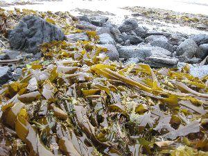 海藻の堆いオホーツクの海岸