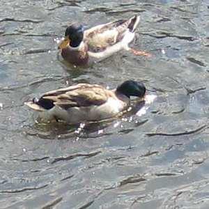 下の雄鴨の下、水の中に