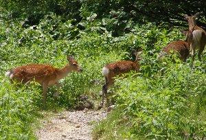 山道を登ってゆく鹿の群れ